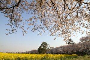 110413_sakura_nanohana