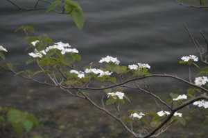 110523_ookamenoki