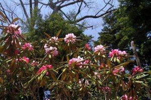 110525_takayama_syakunage