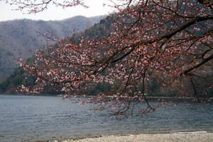 130510_senju_sakura