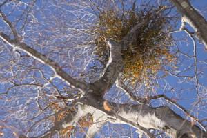 131225_mistletoe