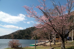 140516_yumoto_sakura