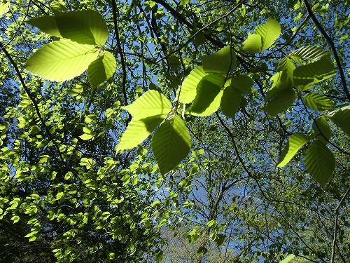 07 イヌブナの新緑