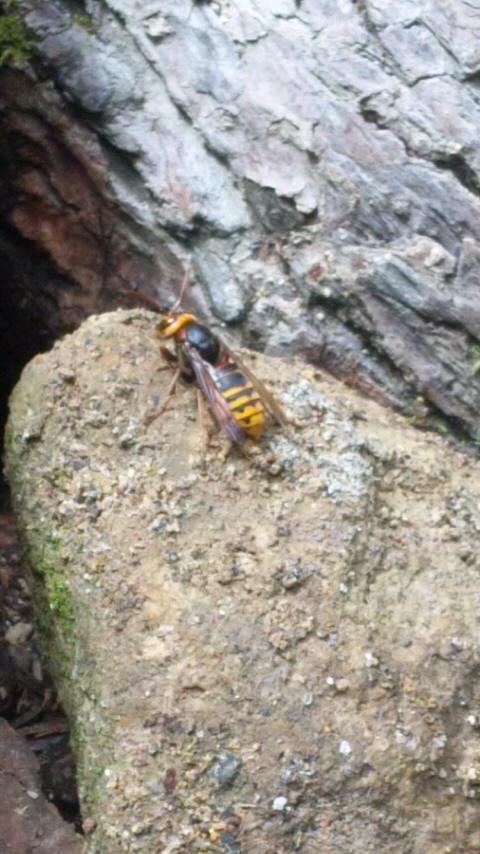 小滝下にスズメバチがいるよ〜。