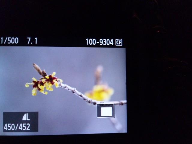 マンサク咲いた。